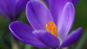 Purpurowej śnieżyczki makro- strzał Obraz Royalty Free