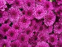 Purpurowej chryzantemy Naturalny tło zdjęcia stock