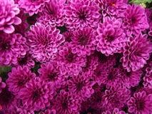 Purpurowej chryzantemy Naturalny tło zdjęcia royalty free