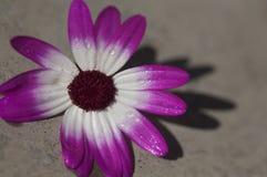 Purpurowej i białej stokrotki kwiat Zdjęcie Stock