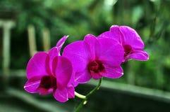 Purpurowej księżyc storczykowy kwiat obraz royalty free