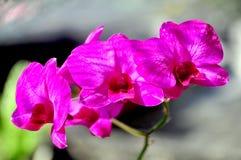 Purpurowej księżyc storczykowy kwiat obrazy royalty free