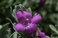 Purpurowej mędrzec kwiat zdjęcia stock