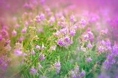 Purpurowi łąka kwiaty Obrazy Royalty Free