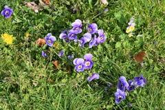PURPUROWI śnieżyczka kwiaty Obraz Royalty Free