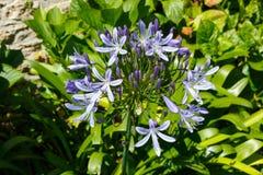 Purpurowi agapantów kwiaty Zdjęcia Stock