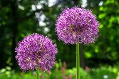 Purpurowi Allium hollandicum kwiaty w wiosna ogródzie zdjęcia stock