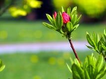Purpurowi azalia pączki Zdjęcie Royalty Free