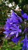 Purpurowi błękitów kwiaty Zdjęcie Stock