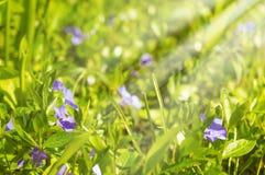Purpurowi błękitni kwiaty barwinek - vinca nieletni Obraz Stock