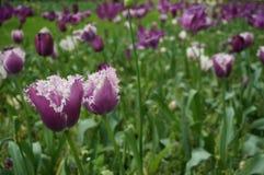 Purpurowi Bliźniaczy tulipany Obrazy Royalty Free