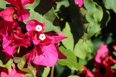 Purpurowi Bougainvillea chipsa kwiaty Obrazy Stock