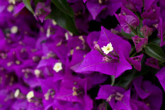 Purpurowi Bougainvillea kwiaty Fotografia Royalty Free