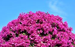 Purpurowi Bougainvillea kwiaty jako balowy kształt Zdjęcia Royalty Free