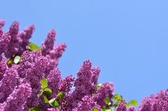 Purpurowi bzy przeciw jaskrawemu niebieskiemu niebu Zdjęcia Stock