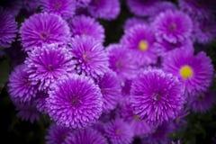 Purpurowi chryzantema kwiaty Zdjęcia Stock