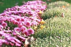 Purpurowi chryzantema kwiaty, pączki & Fotografia Stock