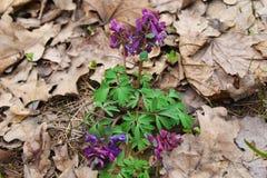 Purpurowi corydalis kwiaty Obraz Stock
