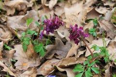 Purpurowi corydalis kwiaty Zdjęcie Stock