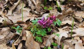 Purpurowi corydalis kwiaty Obraz Royalty Free