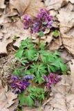 Purpurowi corydalis kwiaty Fotografia Royalty Free