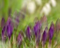 Purpurowi crocusses z dwoistego ujawnienia skutkiem Zdjęcie Royalty Free