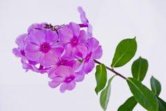 Purpurowi czerwoni floksów kwiatostany Obraz Royalty Free
