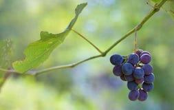 Purpurowi czerwoni winogrona Fotografia Royalty Free