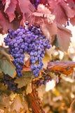 Purpurowi czerwoni winogrona z zielonymi liść na winogradzie winogradu winogrona frui obrazy royalty free