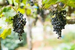 Purpurowi czerwoni winogrona z zielonymi liśćmi na winogradzie, Świeże owoc obraz royalty free