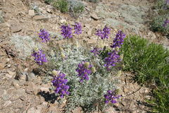 Purpurowi dzicy pustynia kwiaty Obrazy Royalty Free