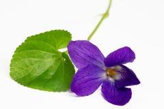 purpurowi fiołki zdjęcia stock