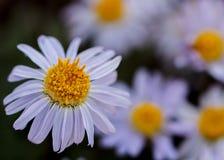Purpurowi fleabane wildflowers z uderzającymi stamens Zdjęcia Royalty Free