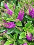 Purpurowi Hebe Addenda kwitną powszechnie znają jako Krzewiasty Veronica ` s zdjęcie stock