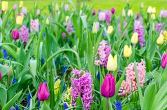 Purpurowi hiacynty kwitnie w wiośnie wśród kolorowego kwiatu pola tulipany przy Keukenhof ogródem w holandiach Zdjęcia Stock