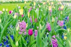 Purpurowi hiacynty kwitnie w wiośnie wśród kolorowego kwiatu pola tulipany przy Keukenhof ogródem w holandiach Zdjęcie Royalty Free