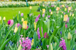 Purpurowi hiacynty kwitnie w wiośnie wśród kolorowego kwiatu pola tulipany przy Keukenhof ogródem w holandiach Obraz Stock