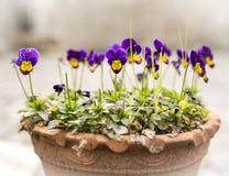Purpurowi i żółci altówki Pansy kwiaty Fotografia Royalty Free