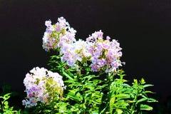 Purpurowi i biali kwiaty Obraz Stock