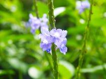 Purpurowi i biali kwiaty z zamazanym tłem fotografia stock