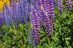 Purpurowi i błękitni łubinowi kwiaty Obrazy Royalty Free