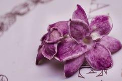 Purpurowi jaśminów kwiaty Fotografia Stock