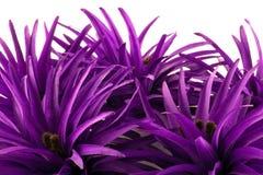 Purpurowi jedwabniczy kwiatów płatki Zdjęcia Royalty Free