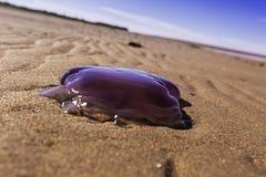 Purpurowi Jellyfish Zdjęcia Royalty Free