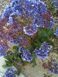 Purpurowi Kalifornia kwiaty Zdjęcie Royalty Free