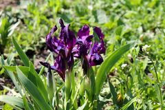 purpurowi karłowaci irysy Zdjęcia Royalty Free