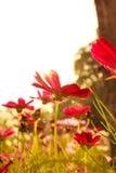 Purpurowi kosmosów kwiaty Fotografia Royalty Free