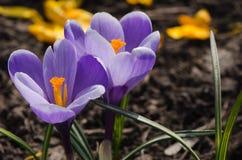 Purpurowi krokusy Fotografia Stock
