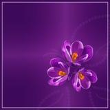 Purpurowi krokusy Obrazy Stock
