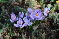 Purpurowi krokusy na wiosna dniu zdjęcie stock